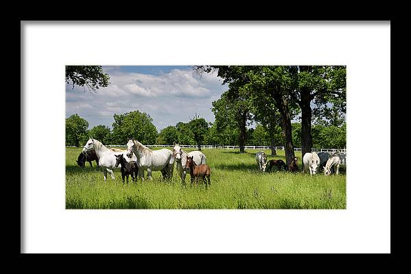 Herd Framed Print featuring the photograph Panorama Of White Lipizzaner Mare Horses With Dark Foals Grazing by Reimar Gaertner