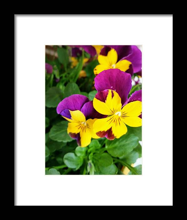 Pansies Framed Print featuring the photograph Pansies 2 by Valerie Josi