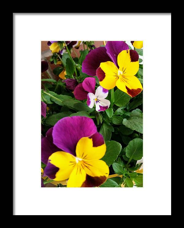 Pansies Framed Print featuring the photograph Pansies 3 by Valerie Josi