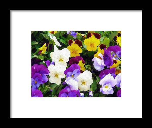 Pansies Framed Print featuring the photograph Pansies by Sandy MacGowan