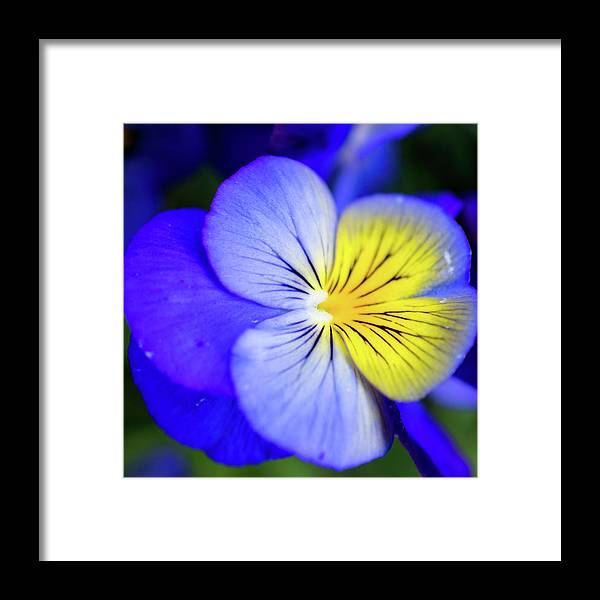 Pansy Framed Print featuring the photograph Pansy Close-up Square by Lisa Blake