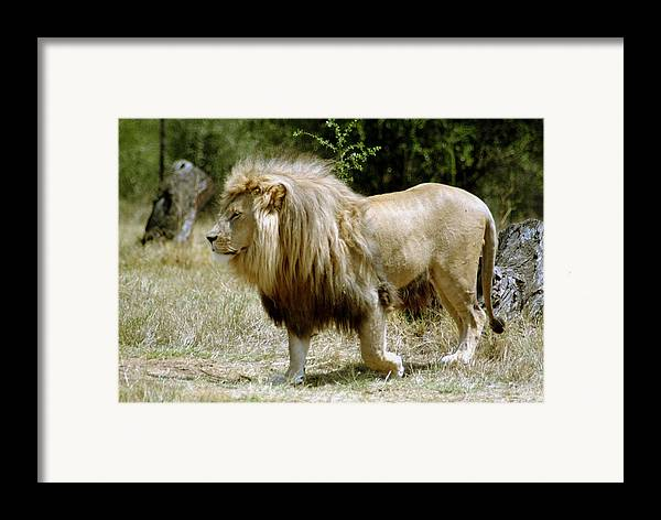 Lion Framed Print featuring the photograph Papa Lion On The Prowl by Charles Ridgway