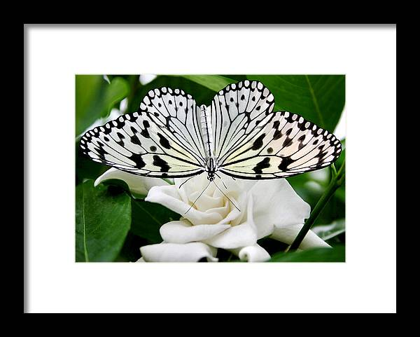 Paperkite Framed Print featuring the photograph Paperkite on Gardenia by Kristin Elmquist