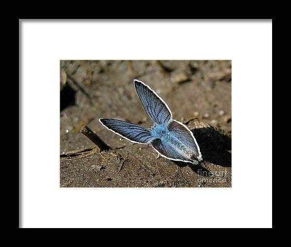 Butterfly Nature Framed Print featuring the photograph Papillon Bleu by Jean-Michel Ammon
