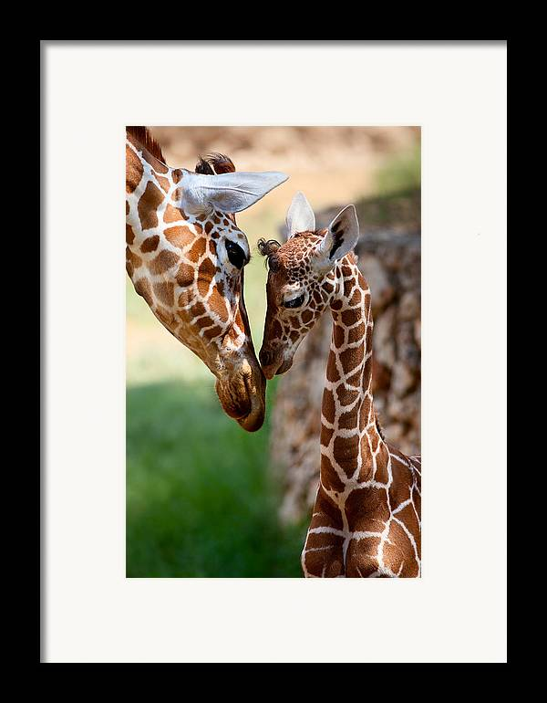 Giraffe Framed Print featuring the photograph Parent-child Relationship by Yuri Peress