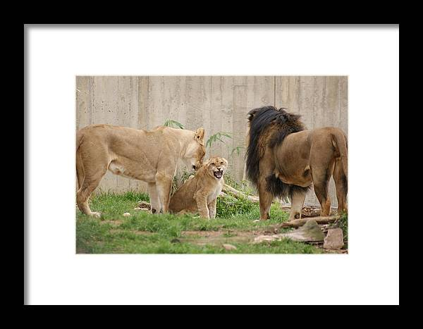Male Lion Framed Print featuring the photograph Parenting by Tina McKay-Brown