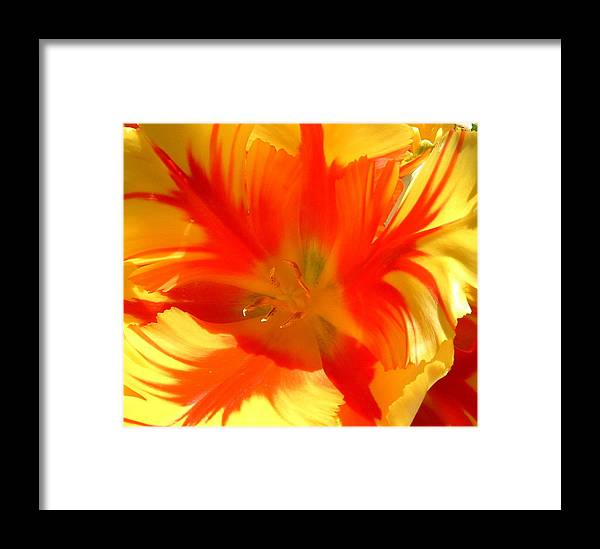 Floral Framed Print featuring the photograph Parrot Tulips by Cheryl Ehlers