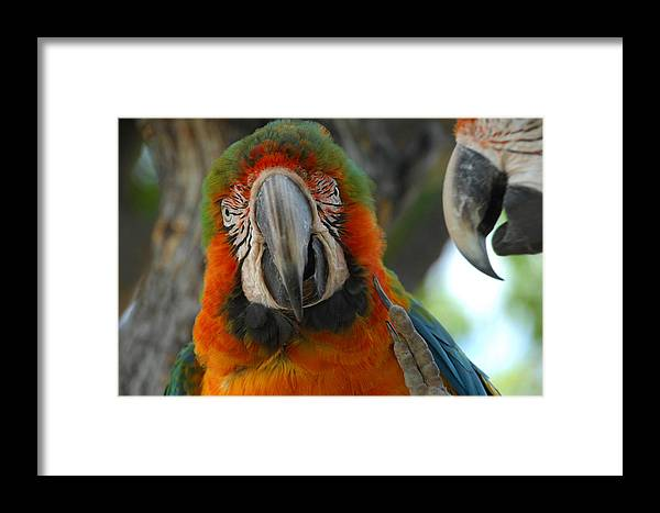 Parrot Framed Print featuring the photograph Parroting Information by Donna Blackhall