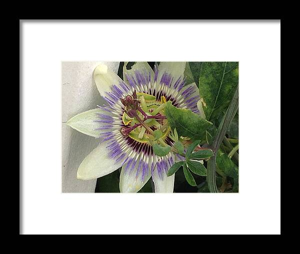 Flower Framed Print featuring the photograph Passionflower by Margaret Howieson