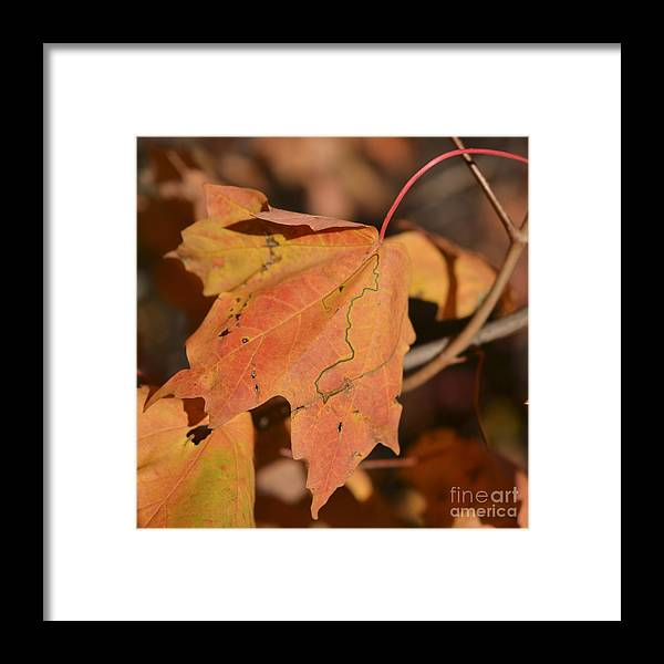 Maple Leaf Framed Print featuring the photograph Path Through A Leaf by Alana Boltwood