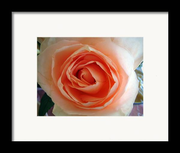 Rose Framed Print featuring the photograph Peach by Bob Gardner