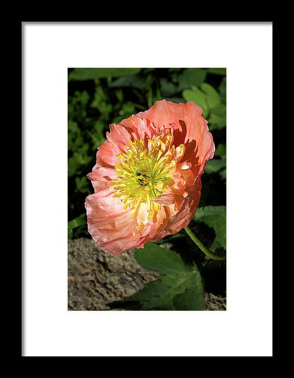 Poppy Framed Print featuring the photograph Peach Colored Poppy by Phyllis Denton
