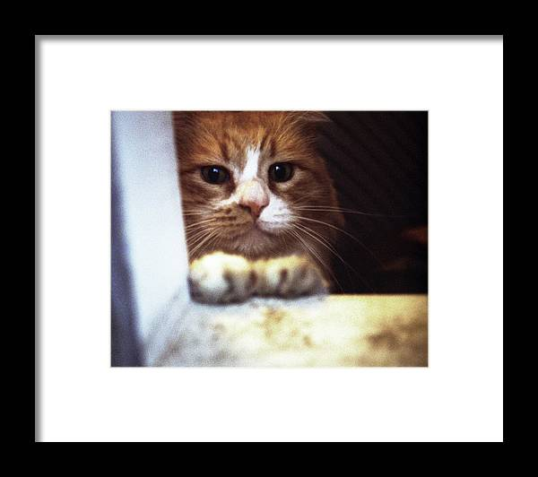 Cat Framed Print featuring the photograph Peaches In The Window by Ron Javorsky