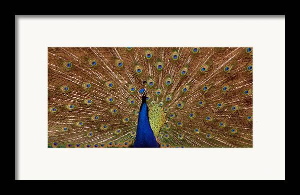 Peakcock Framed Print featuring the photograph Peacock 01 by April Holgate