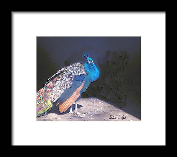Bird Framed Print featuring the painting Peacock by Chuck Kugler