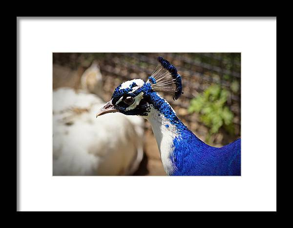 Love Framed Print featuring the photograph Peacock Love by Joann Mitchell