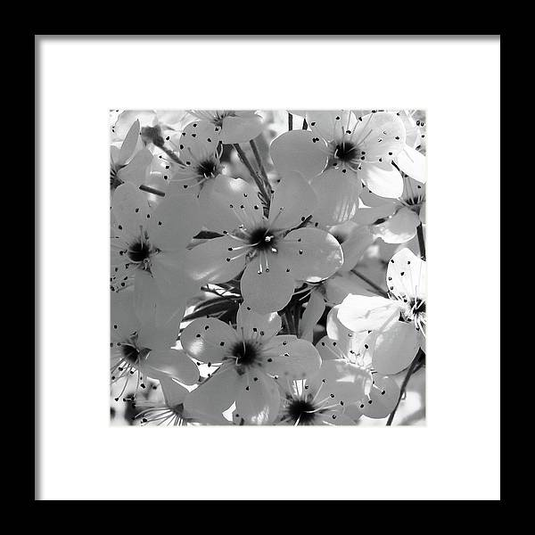 B & W Flowers Framed Print featuring the photograph Pear Tree Blossoms by Tony Grider