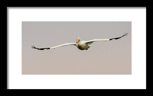 Wildlife Photography Framed Print featuring the photograph Pelican Glideby by John Bartelt