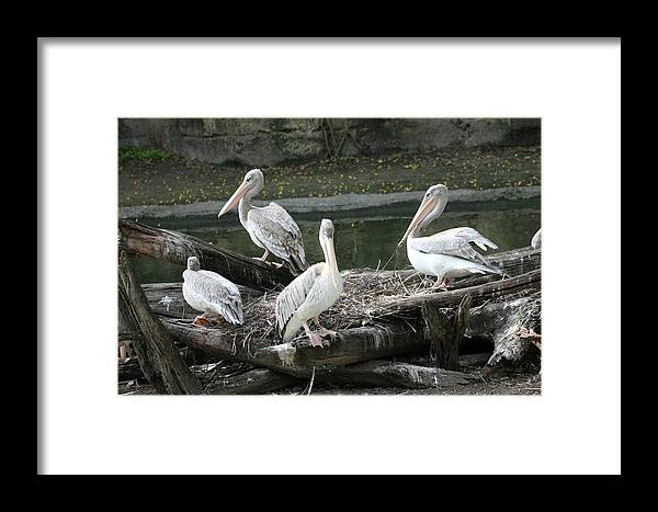 Animals Framed Print featuring the photograph Pelican Grouping by Mary Haber