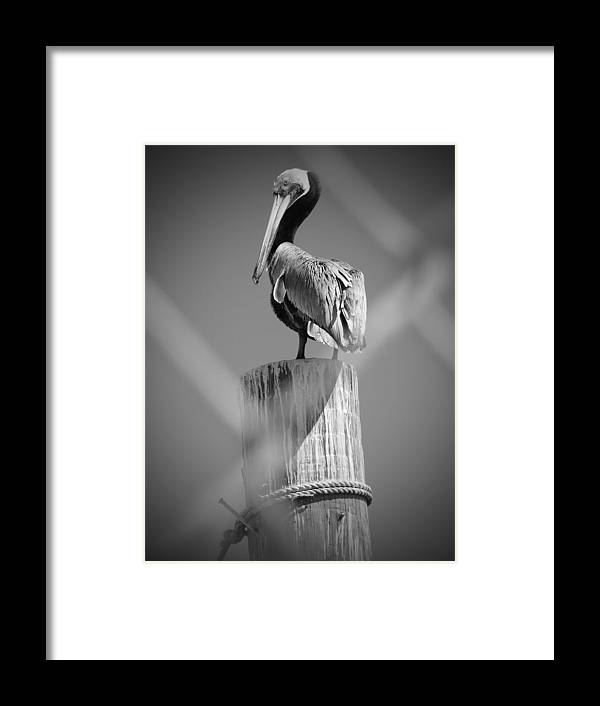 Nature Photographs Framed Print featuring the photograph Pelican Perched by Megan Verzoni