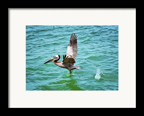 Pelican Taking Flight Framed Print featuring the photograph Pelican Taking Flight by Steven Michael