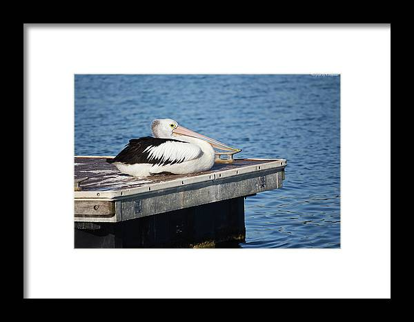 Pelicans Australia Framed Print featuring the digital art Pelican Taking Time Out 691 by Kevin Chippindall