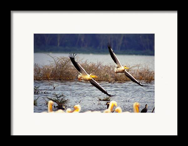 Birds Framed Print featuring the photograph Pelicans In Flight by Carl Purcell