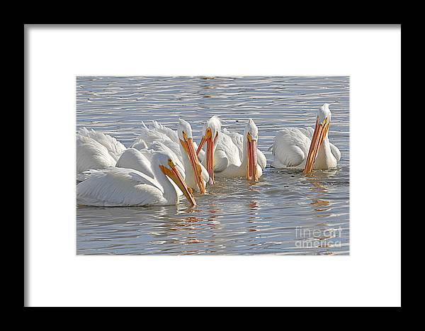 Bird Framed Print featuring the photograph Pelicans On The Prowl by Dennis Hammer