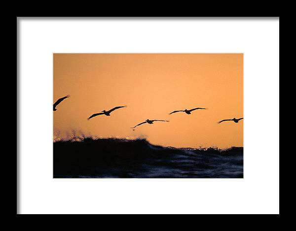 Pelicans Framed Print featuring the photograph Pelicans Over The Pacific by Michael Mogensen