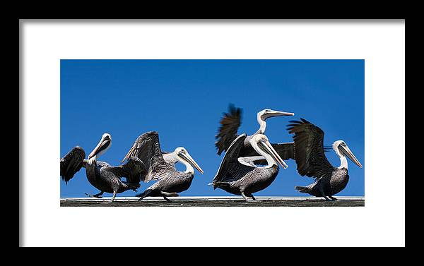 Pelicans Framed Print featuring the photograph Pelicans Take Flight by Mal Bray