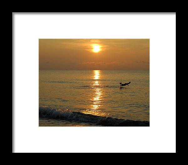 Sunrise Framed Print featuring the photograph Pellican by Zachary Liaros