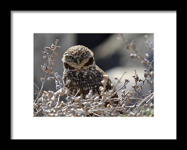 Burrowing Owl Framed Print featuring the photograph Penetrating Eyes by Fraida Gutovich