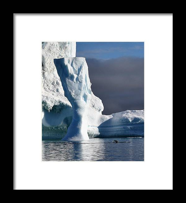 Iceberg Framed Print featuring the photograph Penguin And Ice by Chris Hanlon