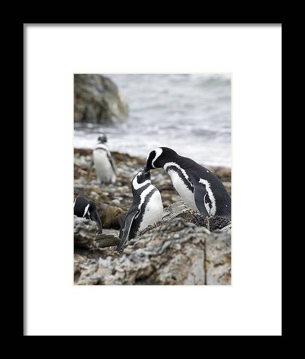 Penguins Framed Print featuring the photograph Penguin Love by Charles Ridgway