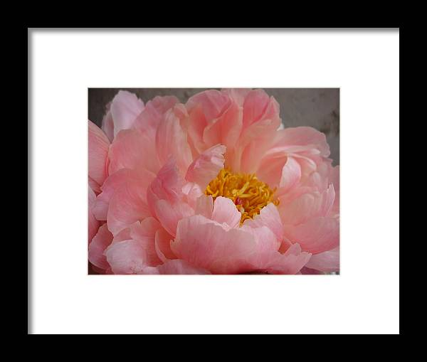 Still Life Framed Print featuring the photograph Peonie by Grace Matthews