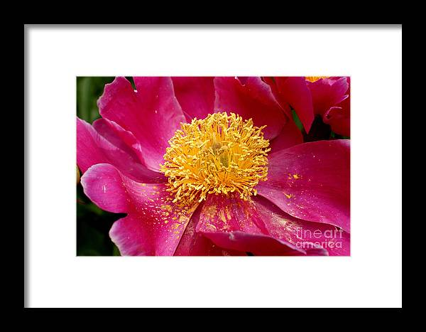 Pink Framed Print featuring the photograph Peony Abstract by Valerie Fuqua