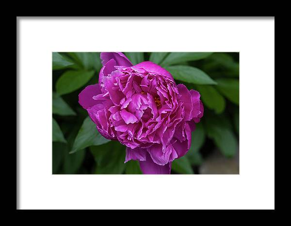 Beautiful Framed Print featuring the photograph Peony by Bob Corson