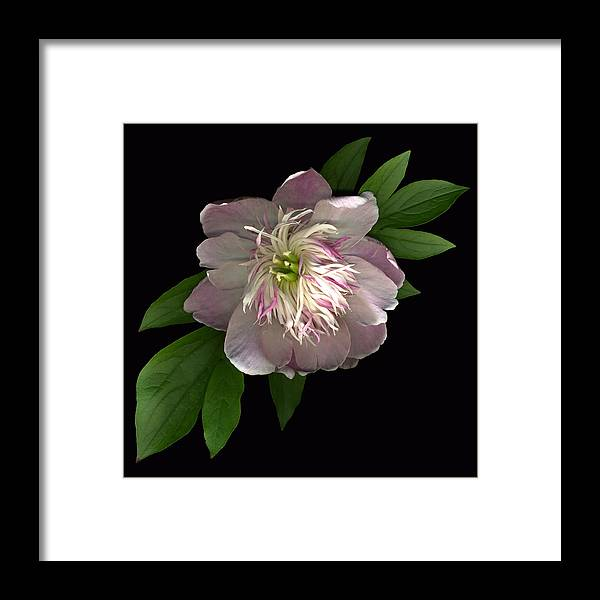 Scanography Framed Print featuring the photograph Peony Full by Deborah J Humphries
