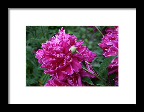 Flowers Framed Print featuring the photograph Peony Protege by Alan Rutherford