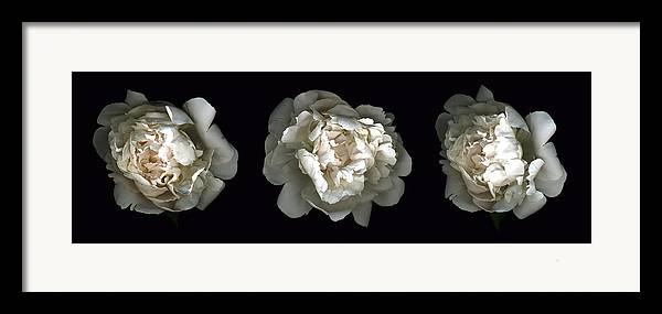 Scanography Framed Print featuring the photograph Peony Tryptic by Deborah J Humphries