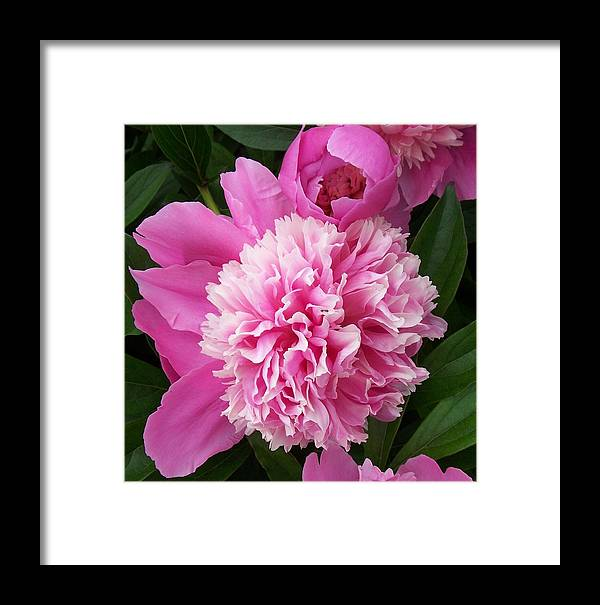 Flowers Framed Print featuring the photograph Peony With Ant by Ellen B Pate