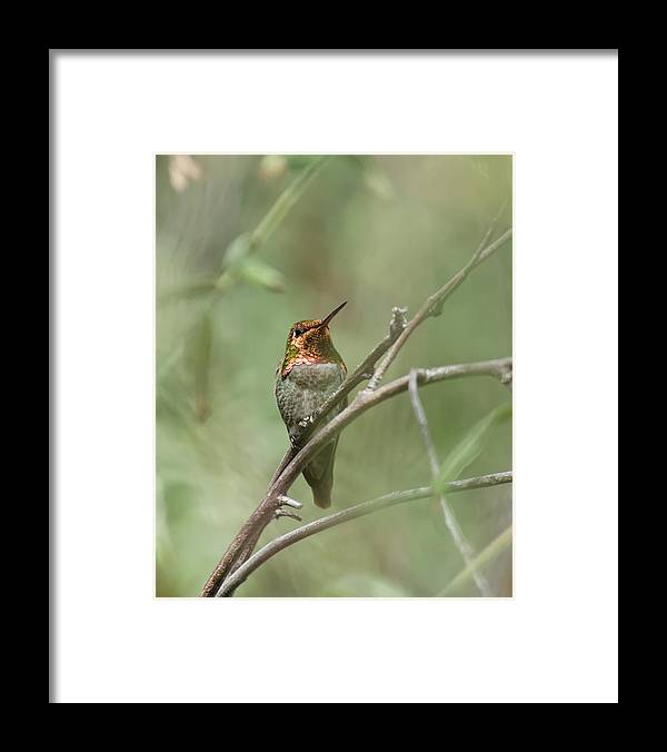 Darin Volpe Animals Framed Print featuring the photograph Pepper Tree Ornament No. 2 -- Anna's Hummingbird In Templeton, California by Darin Volpe