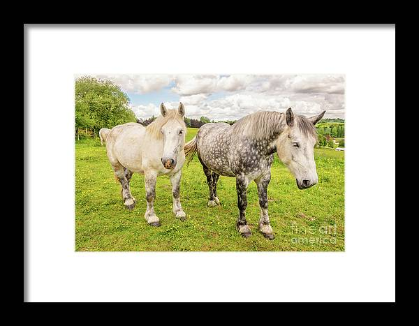 Horses Framed Print featuring the photograph Percherons Horses by Delphimages Photo Creations