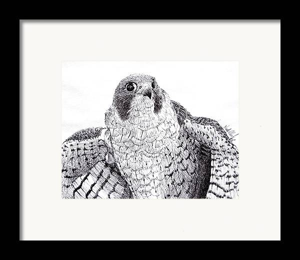 Wildlife Framed Print featuring the drawing Peregrine Falcon by Wade Clark
