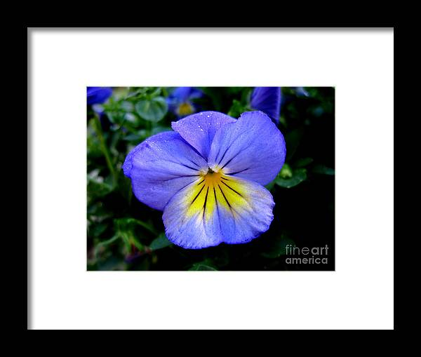 Pansy Framed Print featuring the photograph Perfect Pansy by PJ Cloud
