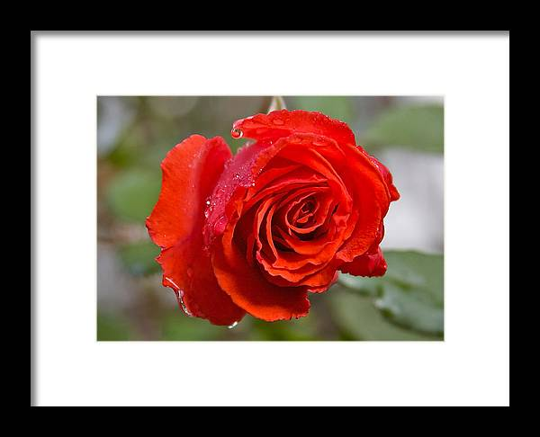 Red Rose Framed Print featuring the photograph Perfect Red Rose by Robert Joseph