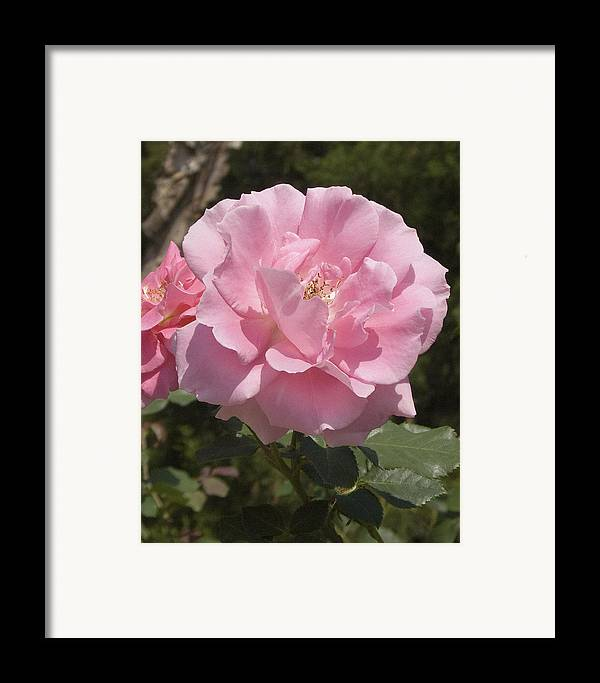 Rose Framed Print featuring the photograph Perfect Rose by Charles Ridgway