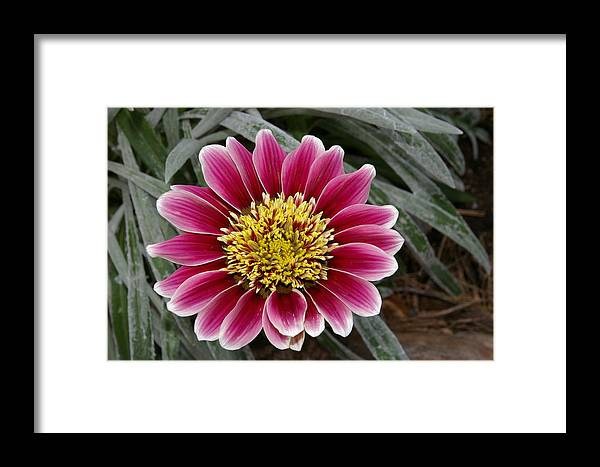 Flowers Framed Print featuring the photograph Perfection by Veron Miller