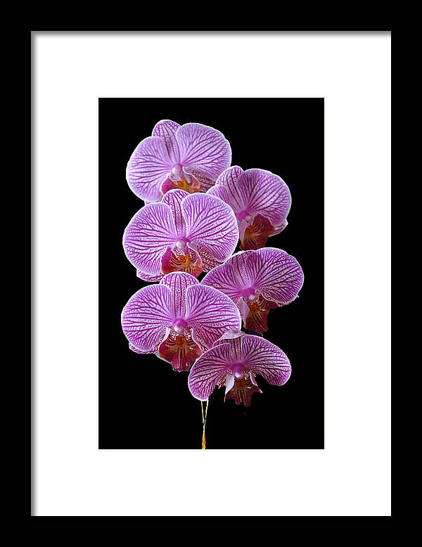 Pink Framed Print featuring the photograph Perfection by Vijay Sharon Govender