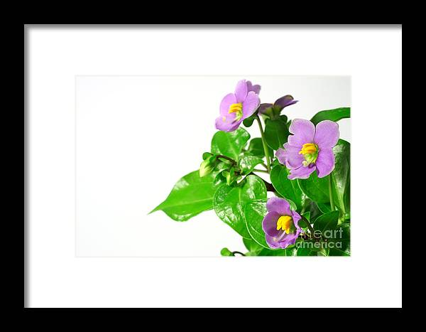 Closeup Framed Print featuring the photograph Persian Violets by Gaspar Avila